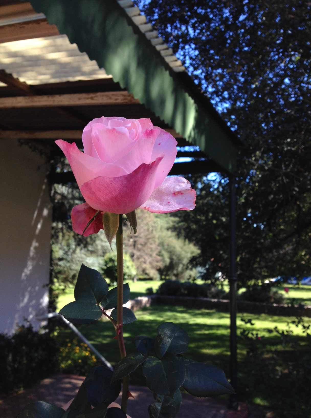 Hilacha que va tramando- La forma de la Rosa | Zully Poratelli
